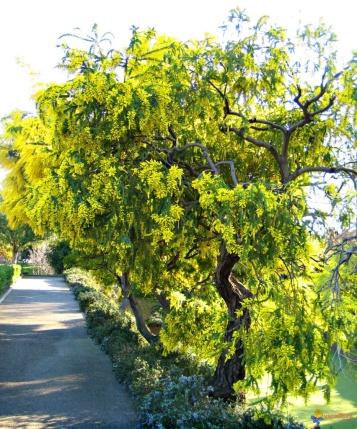 arbre-mimosa-visoflora-1718