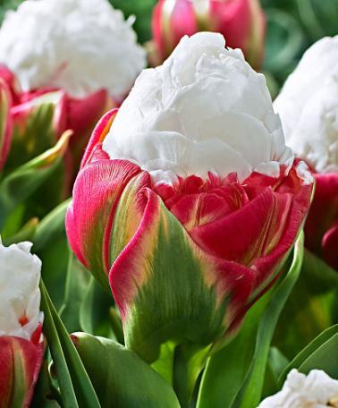 Tulipe Ice Cream