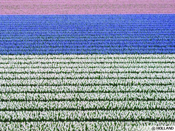 tulipes-champ-hollande-600x450